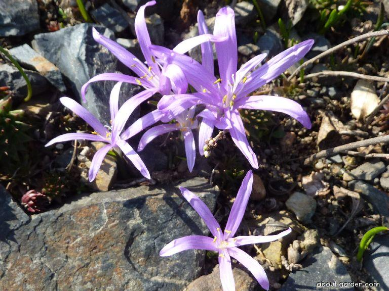 Spring Meadow Saffron - Colchicum bulbocodium