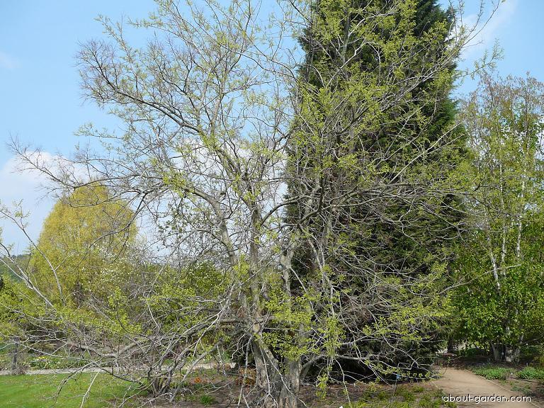 Common hackberry - Celtis occidentalis