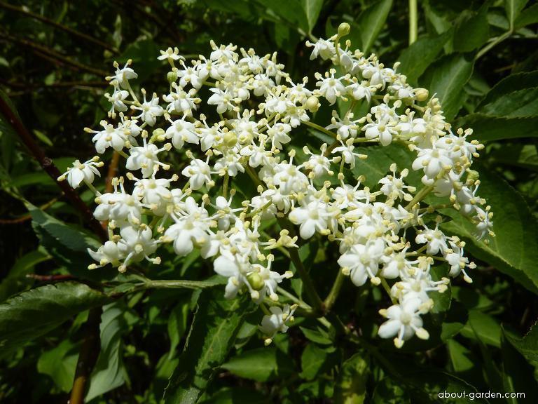 Bez černý - květ (Sambucus nigra)