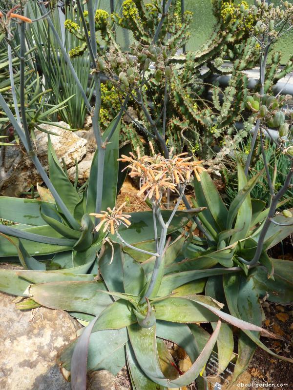 Aloe (Aloe striata)