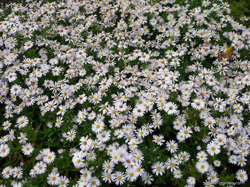 Aster dumosus L. (Rice Button Aster)
