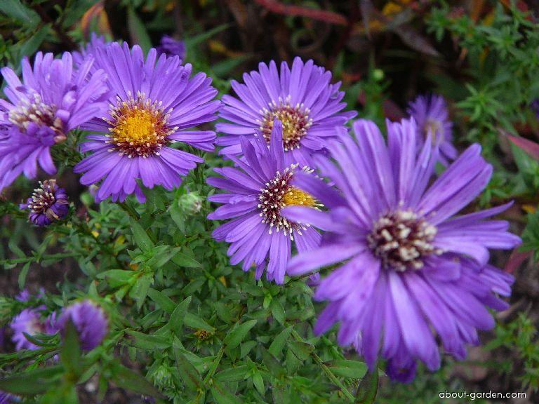 Rice Button Aster - Aster dumosus