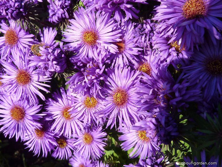 New England Aster - Symphyotrichum novae-angliae Purple Dome