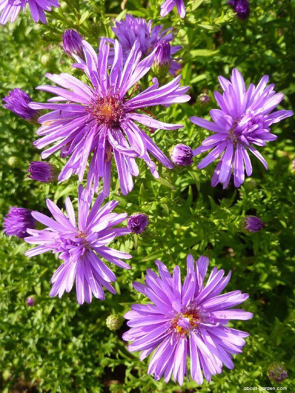 Astřička novobelgická Trudi Ann - květ (Symphyotrichum novi-belgii)