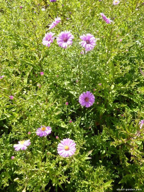 Astřička novobelgická Little Pink Beauty (Symphyotrichum novi-belgii)