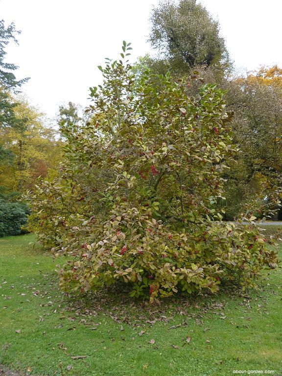 Magnolie (Magnolia)