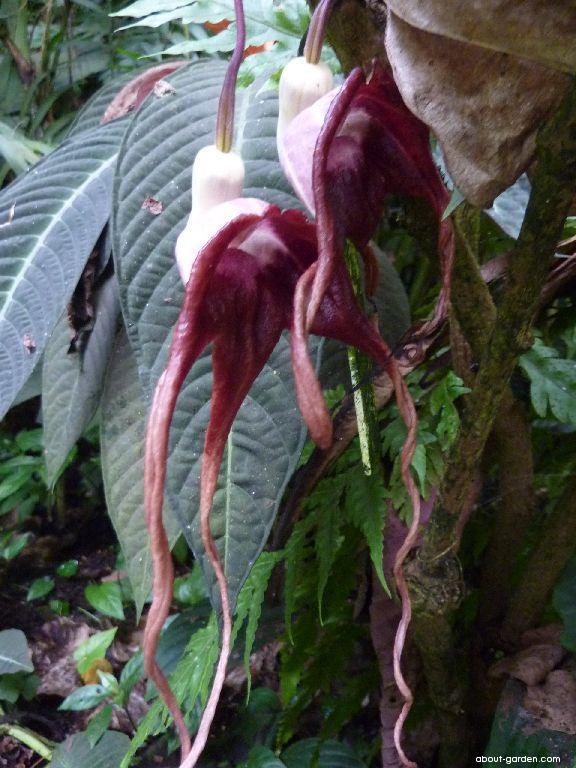 Podražec - květ (Aristolochia tricaudata)