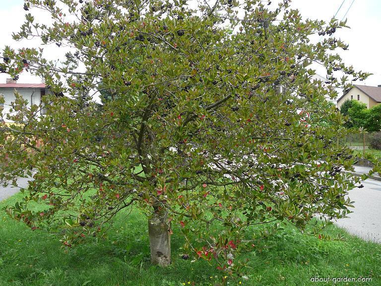 Aronia Tree
