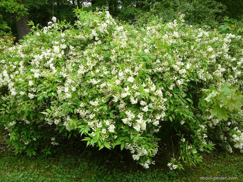 Trojpuk skvělý (Deutzia magnifica)