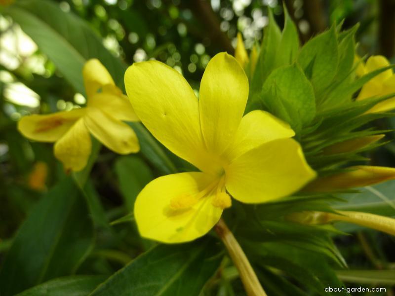 Barlerie - květ (Barleria micans)
