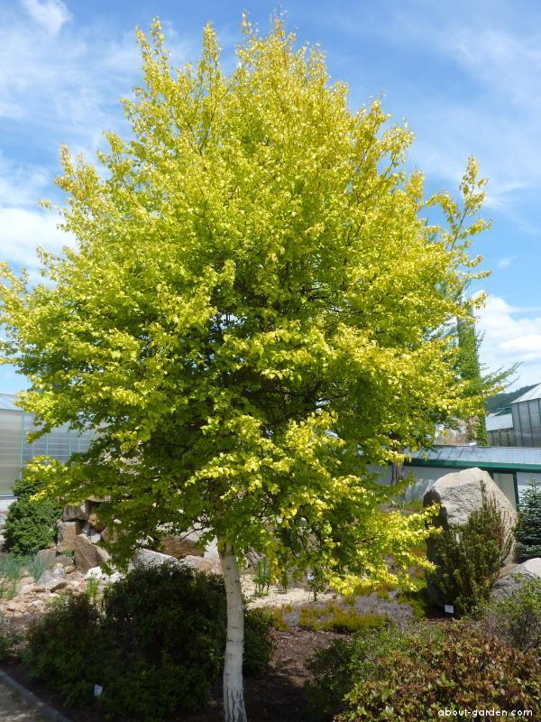 Weeping birch - Betula pendula Aurea