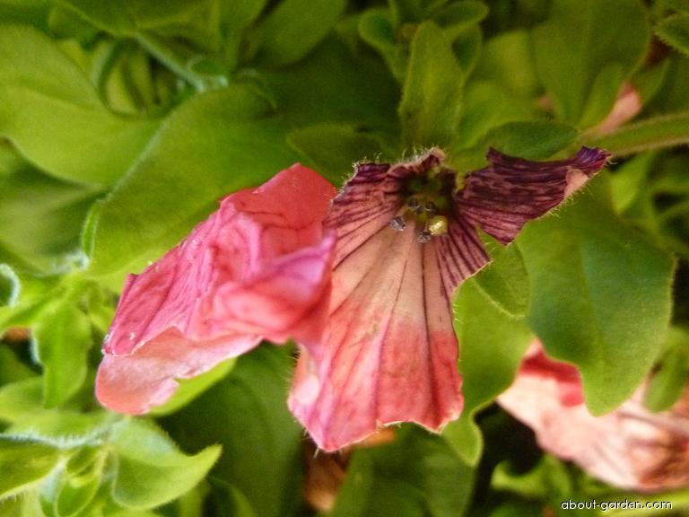 Surfinie - cár květu po krupobití (Surfinia)