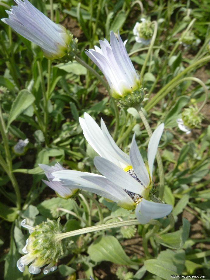 Arctotis (Arctotis venusta)