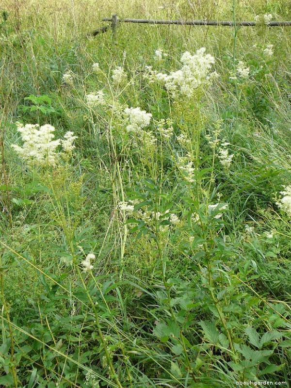 Meadow sweet - Filipendula ulmaria