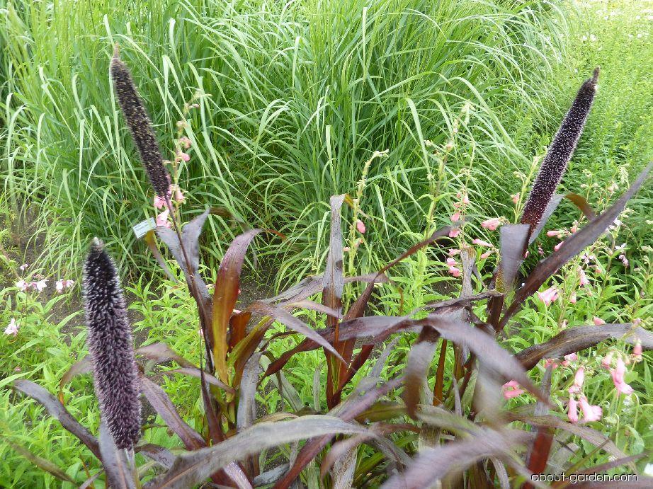 Dochan Purple Majesty (Pennisetum glaucum)