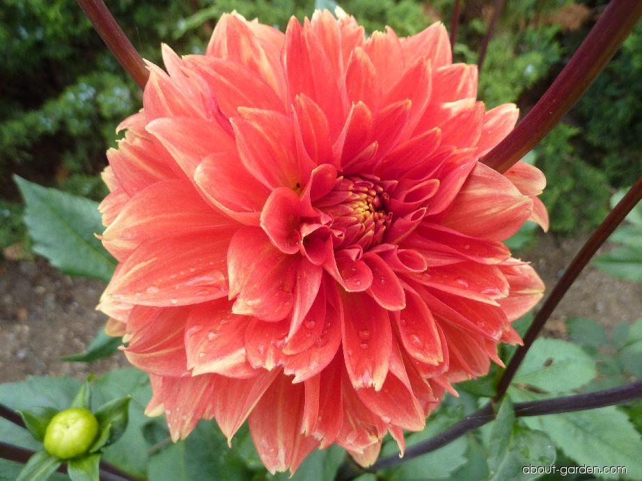 Jiřina Vysočina - květ (Dahlia)