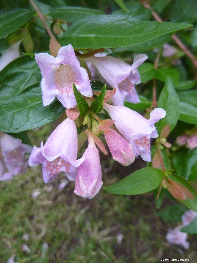 Glossy Abelia - Abelia x grandiflora Dwarf Purple