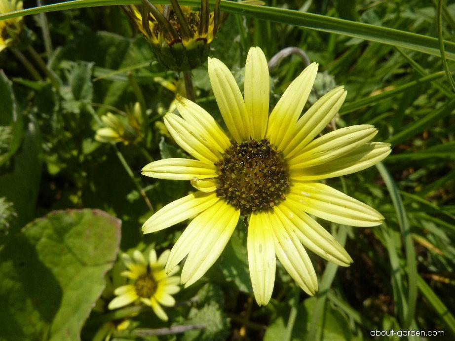 Oruňka měsíčkovitá - květ (Arctotheca calendula)