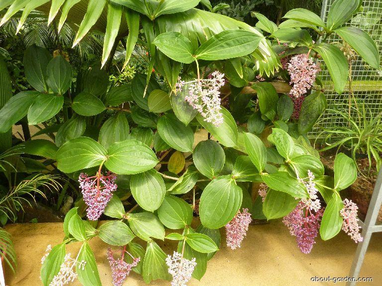 Medinilla (Medinilla speciosa)