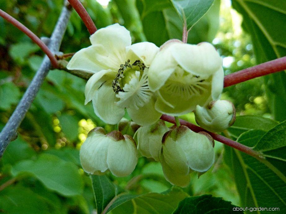 Bower Actinidia - Actinidia arguta