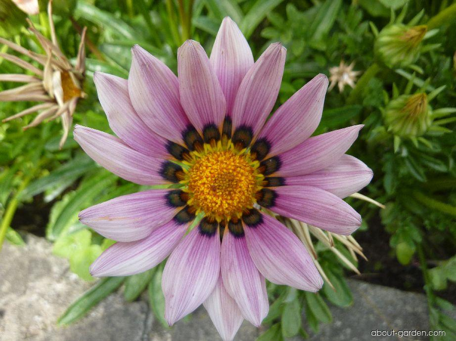 Treasureflower - Gazania rigens