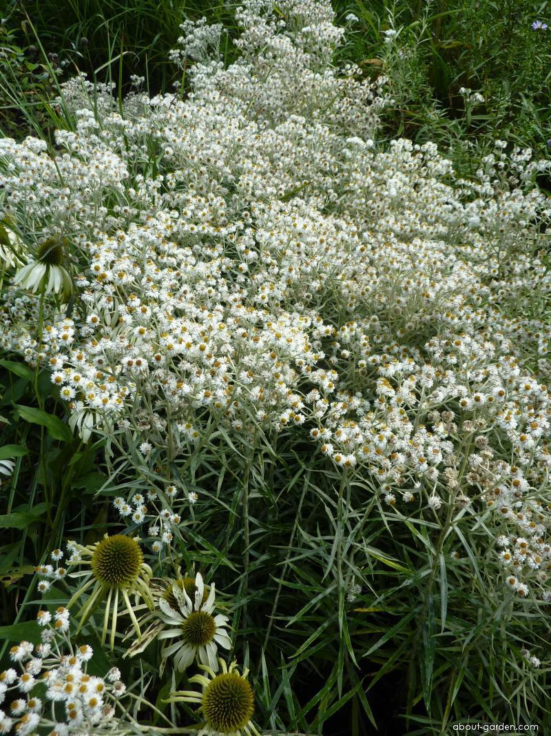 Pelyněk Ludvíkův (Artemisia ludoviciana)