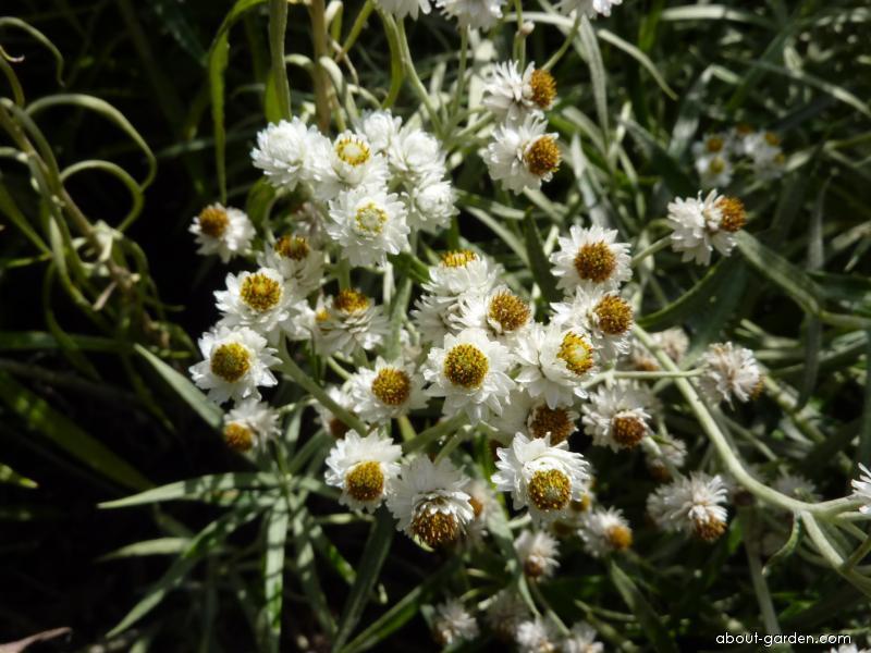 Pelyněk Ludvíkův - květ (Artemisia ludoviciana)