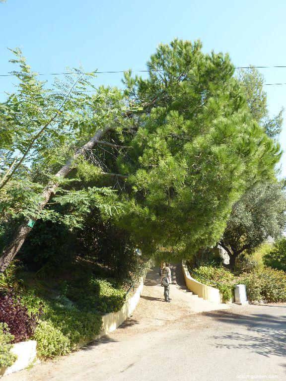 Borovice pinie (Pinus pinea)