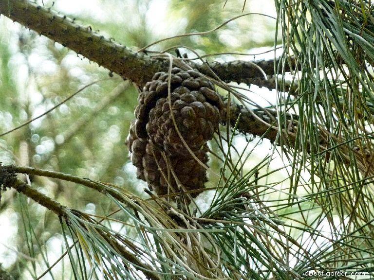 Borovice pinie - šiška (Pinus pinea)