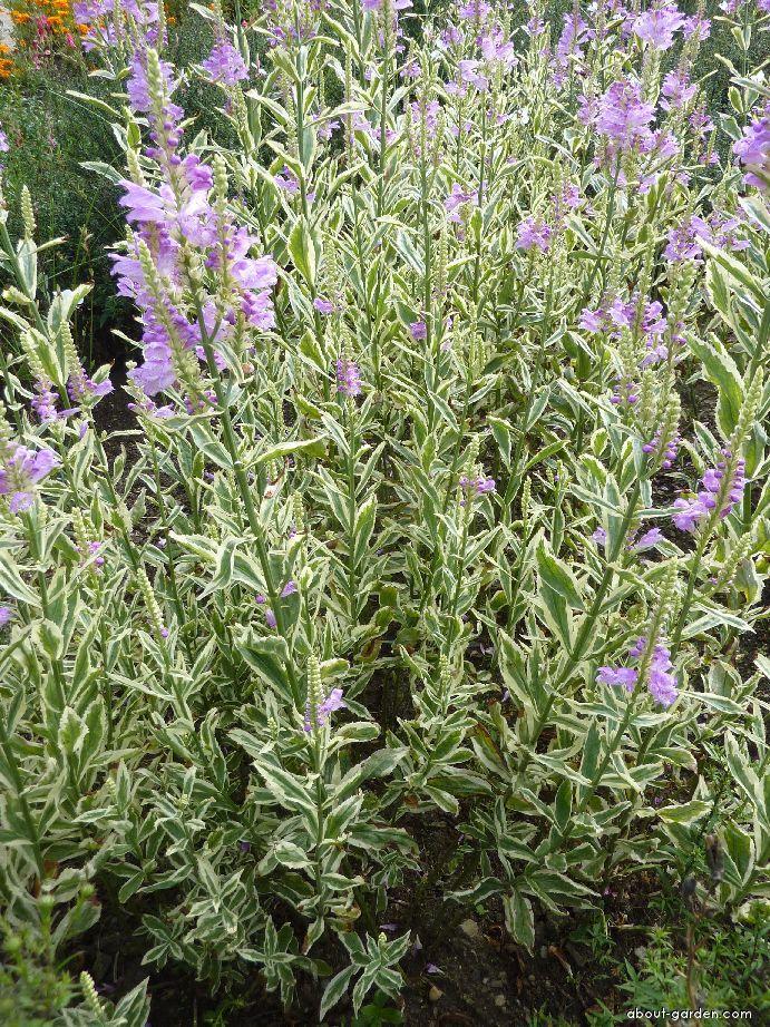 Obedient plant - Physostegia virginiana Variegata