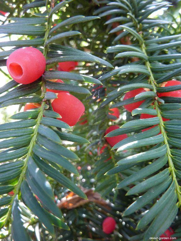 Common Yew - Taxus baccata