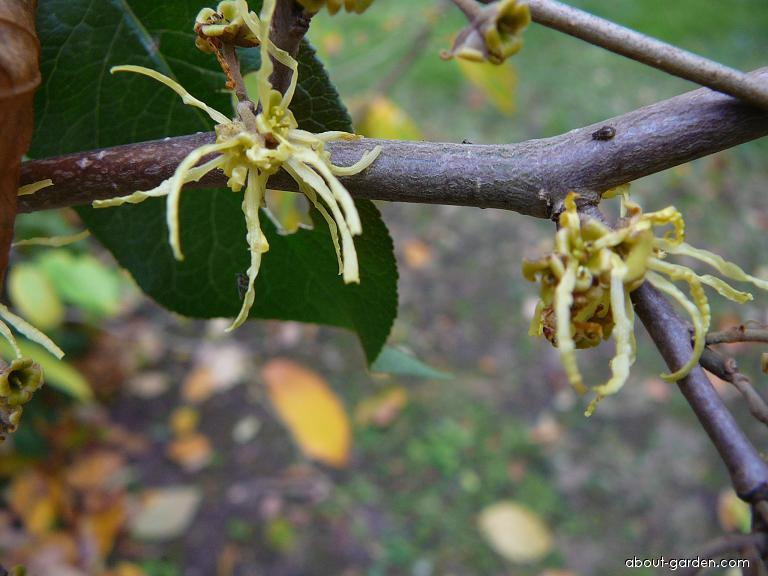 American Witch-hazel - Hamamelis virginiana