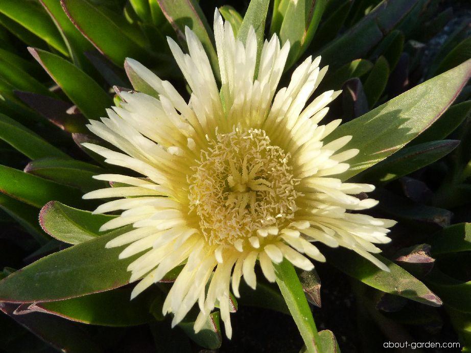 Kosmatcovník jedlý - květ (Carpobrotus edulis)