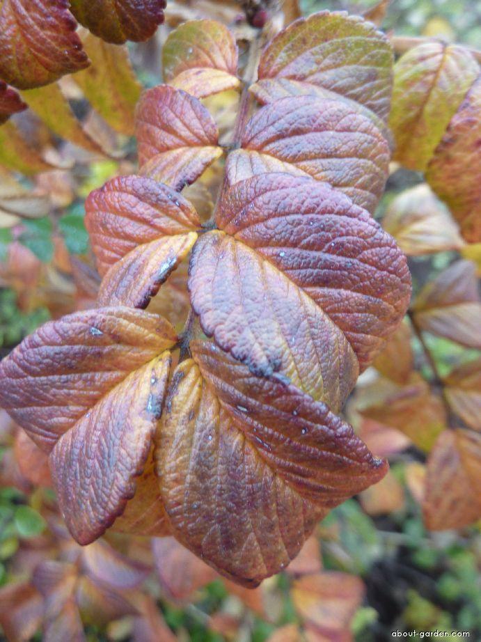 Růže svraskalá - podzimní list (Rosa rugosa)