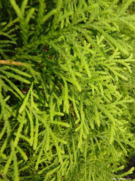 Cypress - Chamaecyparis pisifera Plumosa Aurea