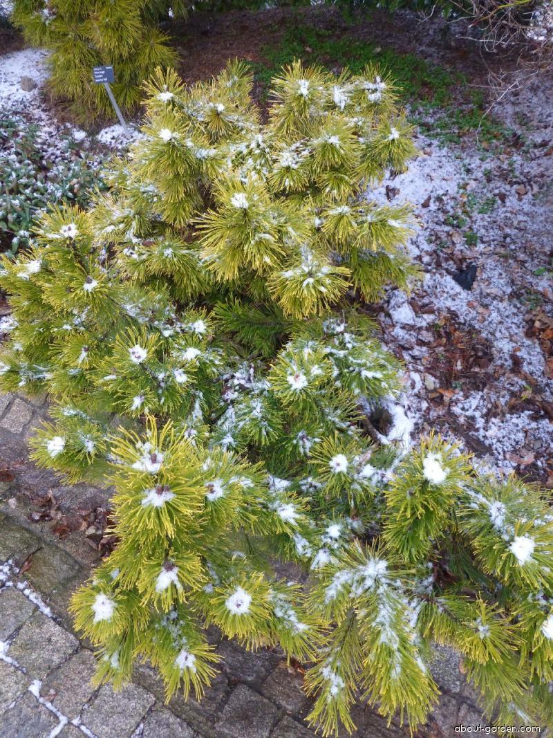Borovice kleč Winter Gold (Pinus mugo)