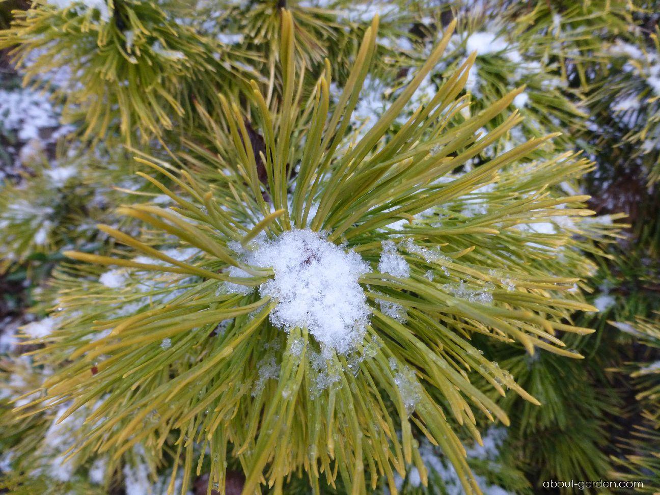 Borovice kleč Winter Gold - jehličí (Pinus mugo)