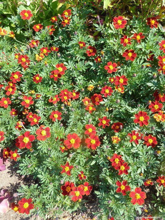 French Marigold - Tagetes patula Disco Red
