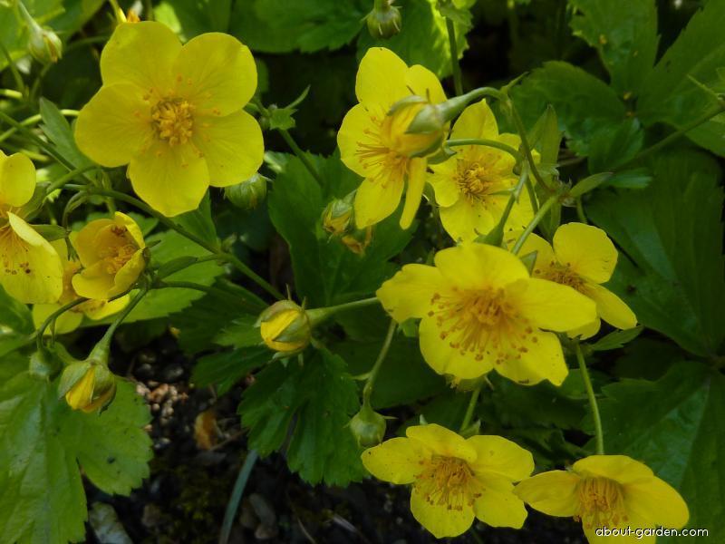 Mochnička trojčetná - květ (Waldsteinia ternata)