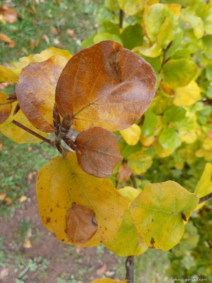 Buk lesní - list (Fagus sylvatica Rotundifolia)