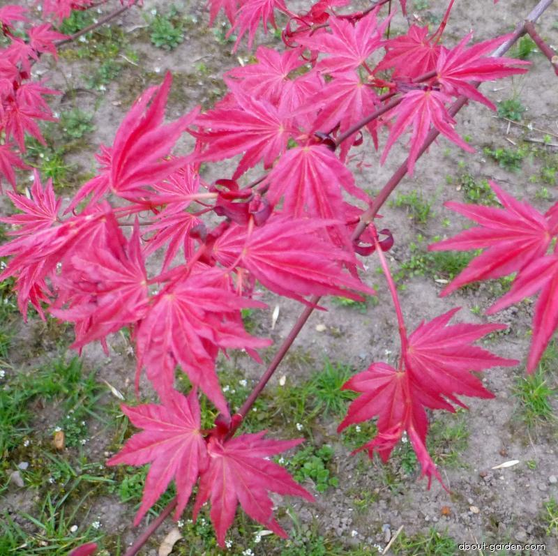 Japanese maple - Acer palmatum Corallinum
