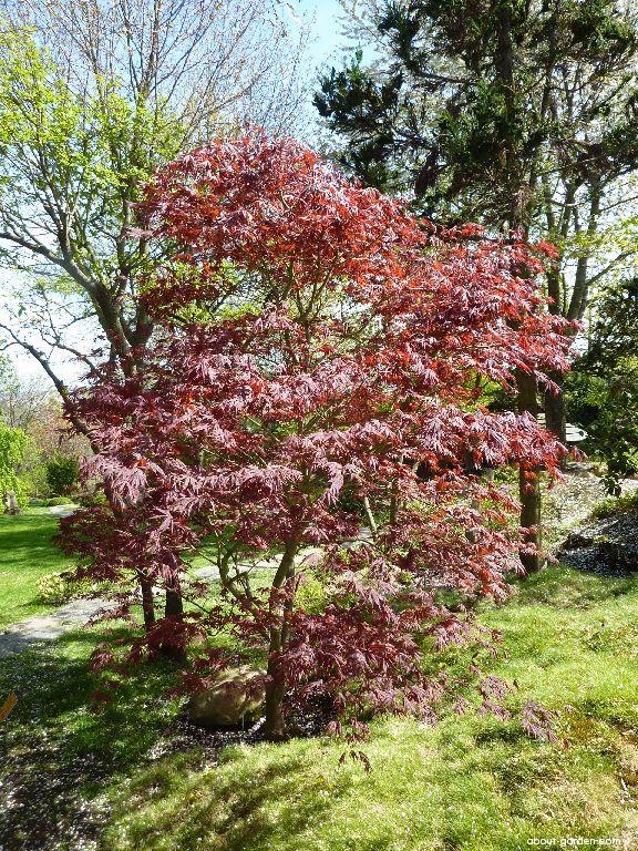 Japanese maple - Acer palmatum Oshu shidare
