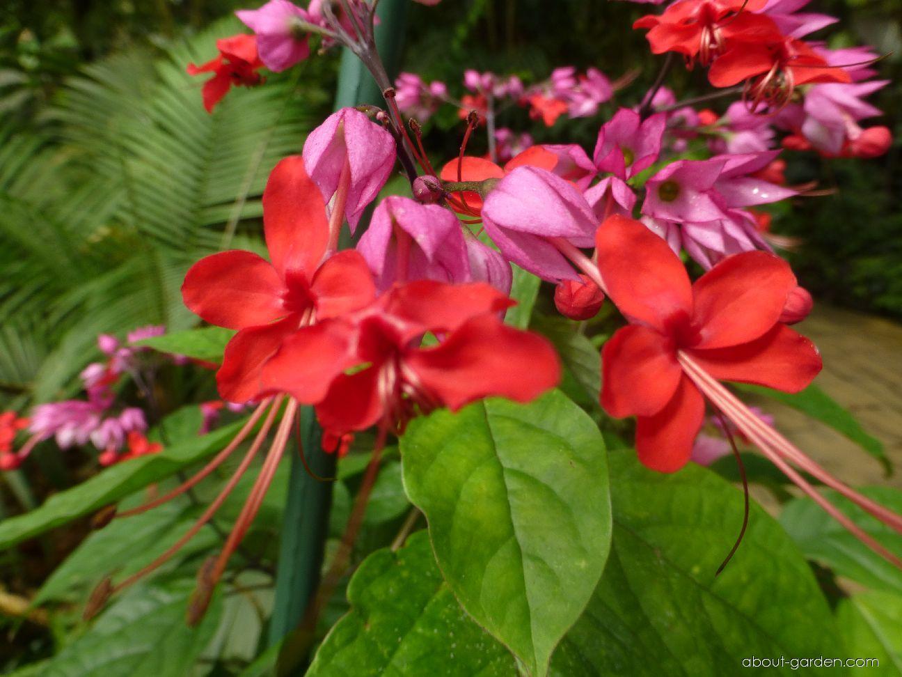 Blahokeř Thomsonové - květ (Clerodendrum thomsoniae)