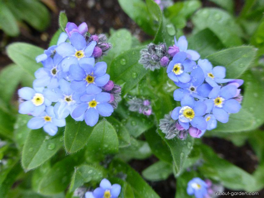 Myosotis sylvatica Bluesylva (Wood Forget-me-not)