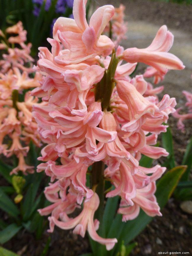 Common Hyacinth - Hyacinthus orientalis Gipsy Queen