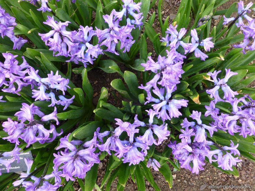 Hyacint východní Minos (Hyacinthus orientalis)