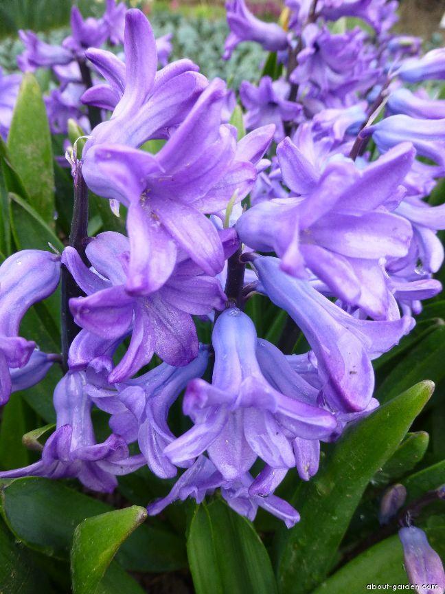 Hyacint východní Minos - květ (Hyacinthus orientalis)