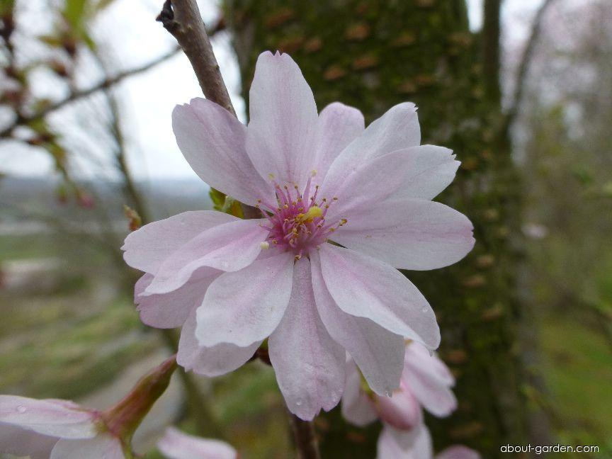 Prunus subhirtella Autumnalis Rosea (Winter-flowering Cherry)