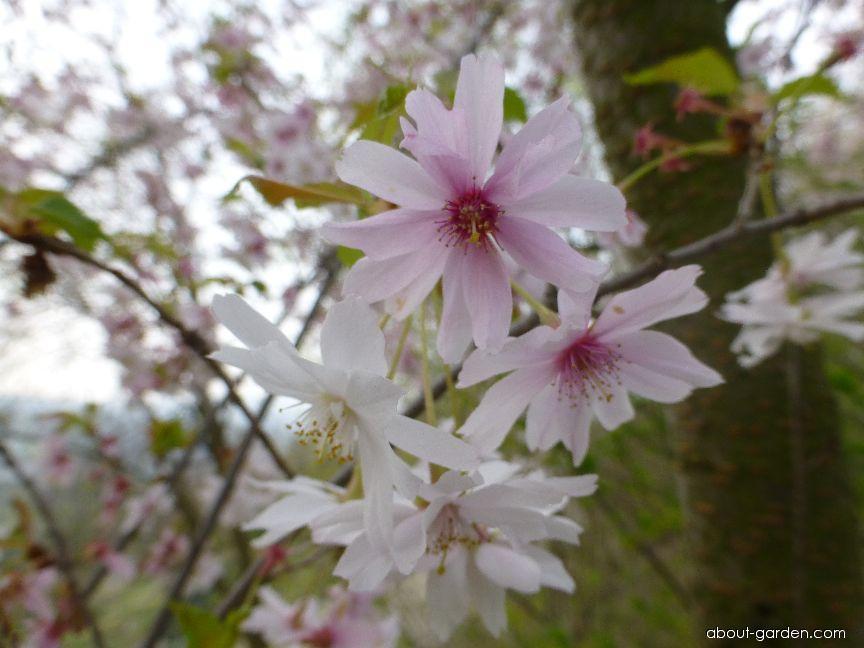 Winter-flowering Cherry - Prunus subhirtella Autumnalis Rosea