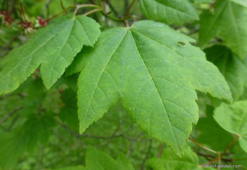 Vine maple - Acer circinatum